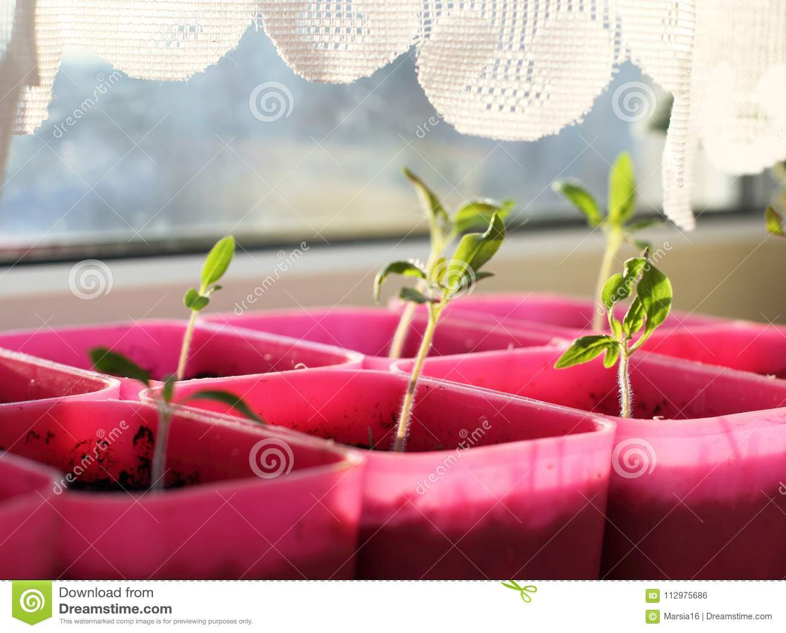 Fresh green seedlings on windowsill