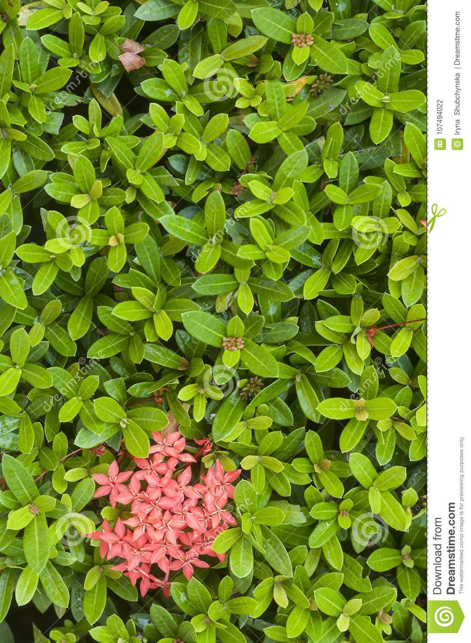 Fresh Green Small Leaves Of A Tropical Plant With Pink Flowers Stock