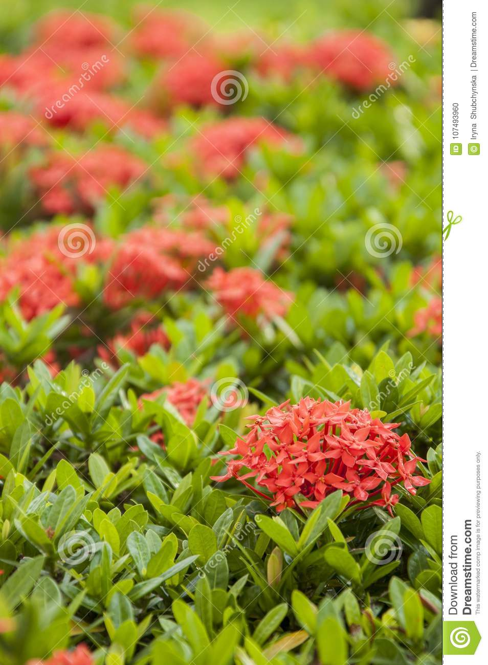 Fresh Green Small Leaves Of A Tropical Plant With Pink Flowers