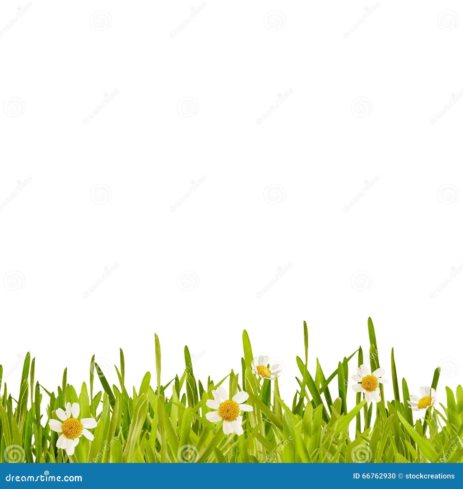 Fresh Green Spring Grass And Daisy Border Stock Photo 66762930 ...
