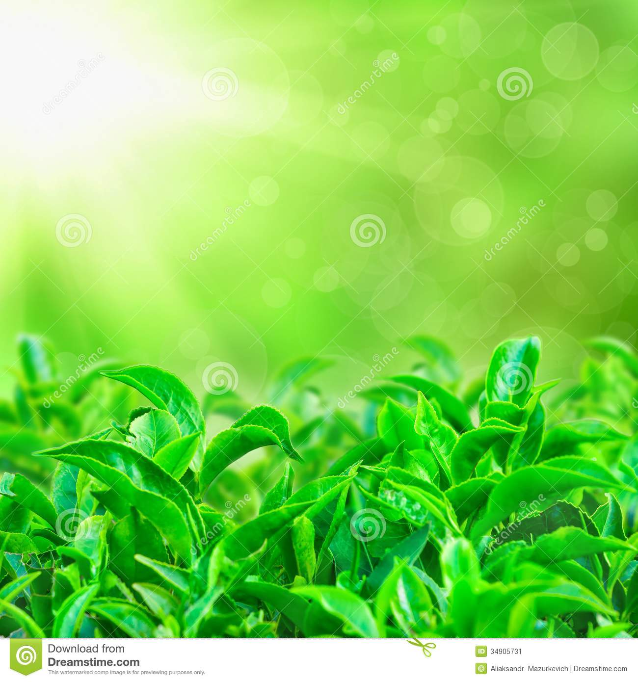 Fresh Green Tea Leaves With Sun Beams Stock Image - Image: 34905731