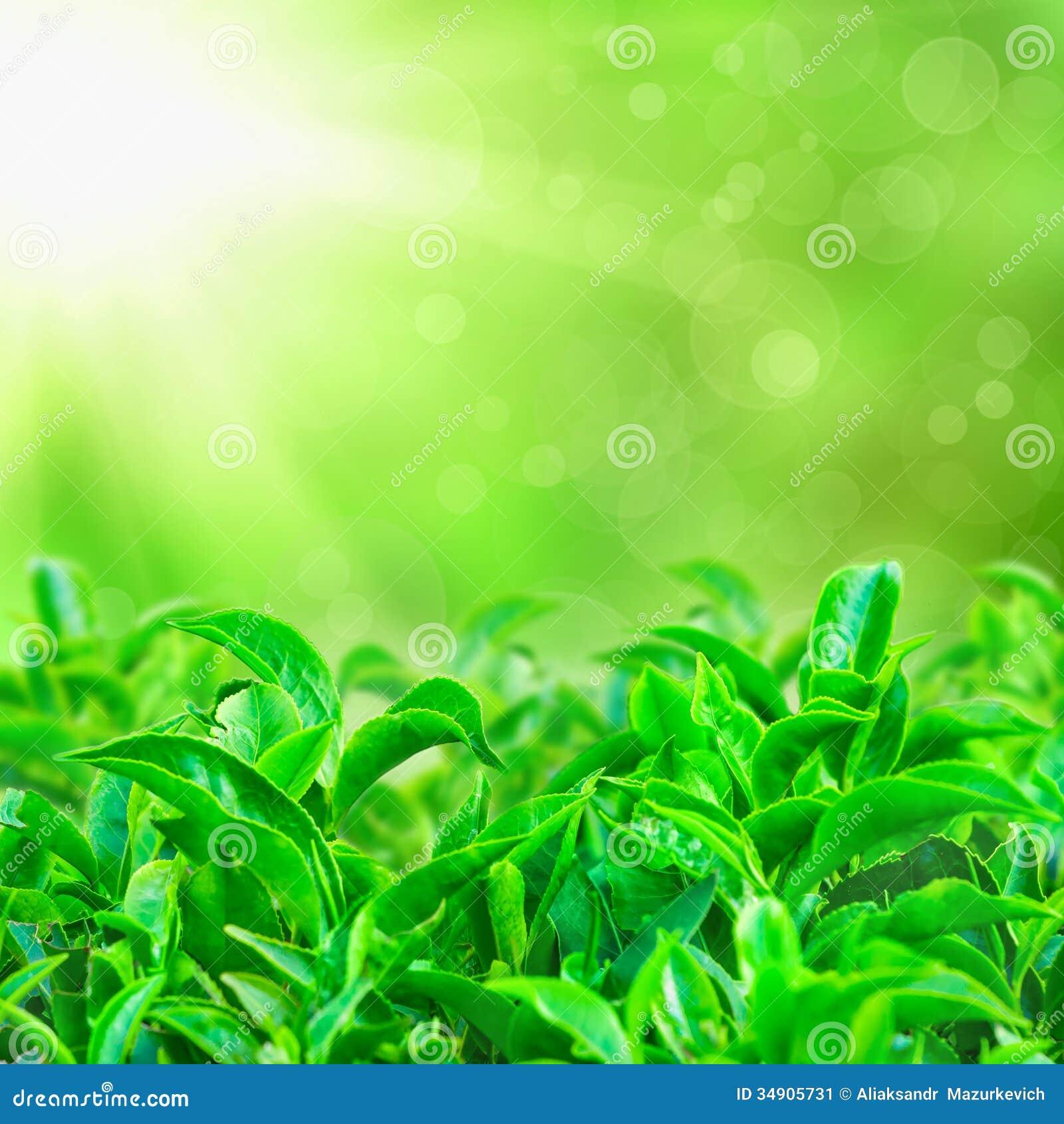 Fresh green tea leaves with sun beams