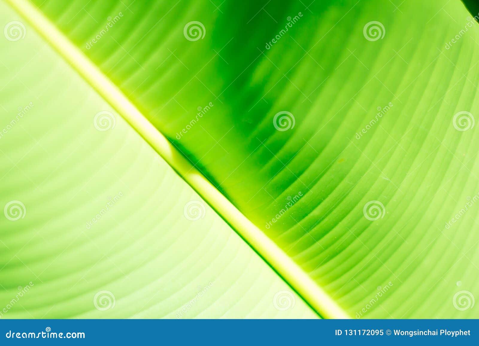 Fresh green tropical banana leaf isolated on white background, path