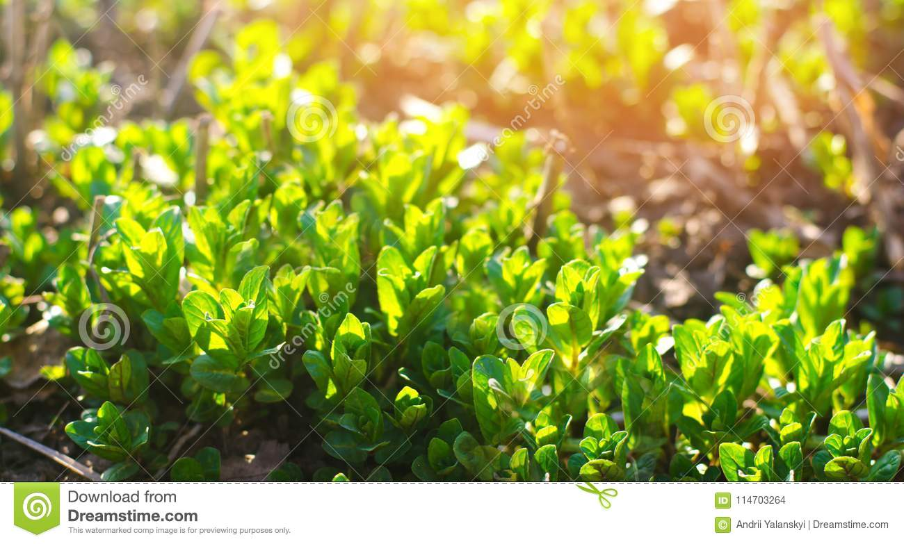 Fresh green young mint in the garden, mint sprouts close-up. green bush. sunny day