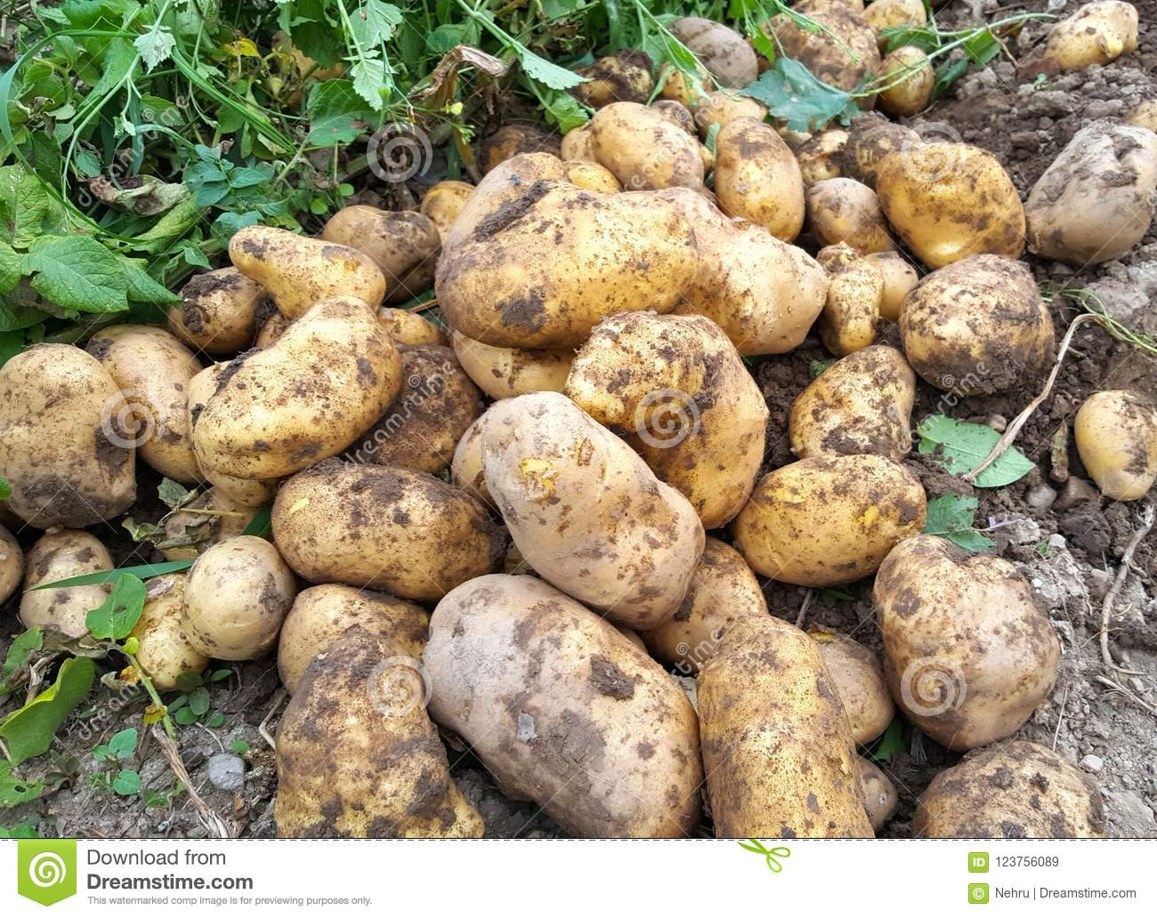 Fresh Harvested Potatoes On The Garden Stock Image - Image of fresh ...