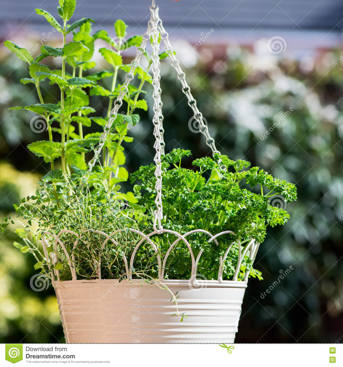 3571dfe2e4d5 Fresh Herbs In Hanging Outdoor Basket Stock Image - Image of harvest ...