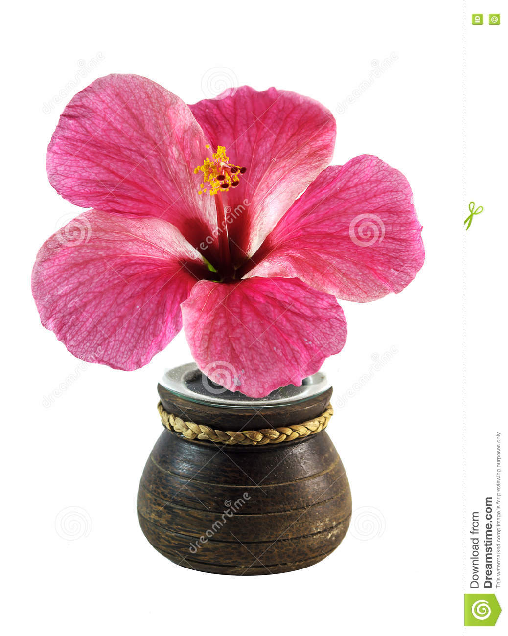 Fresh Hibiscus Flower In Pot Stock Photo Image Of Nature Copy