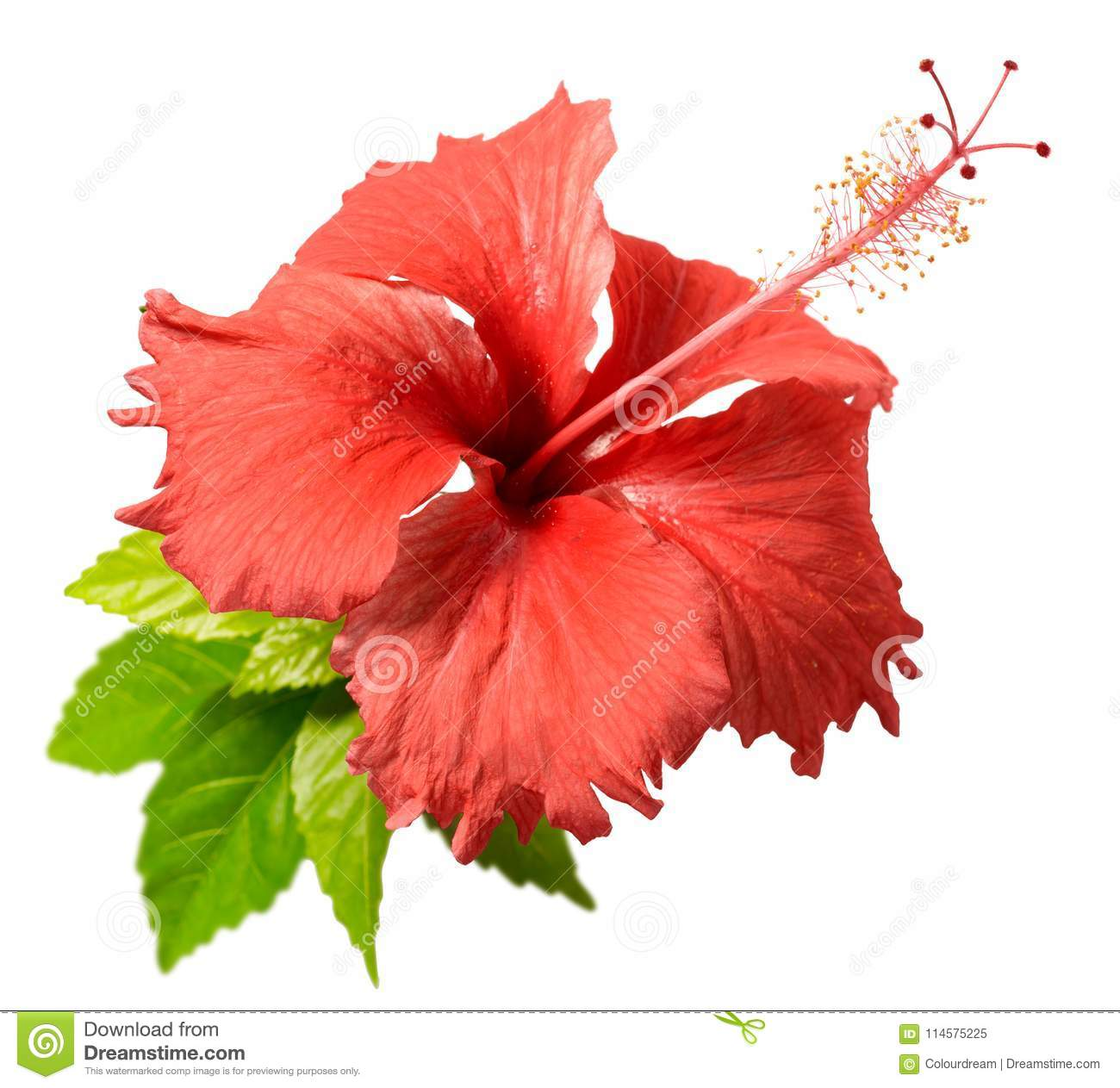 Hibiscus Isolated On White Stock Image Image Of Flower 114575225