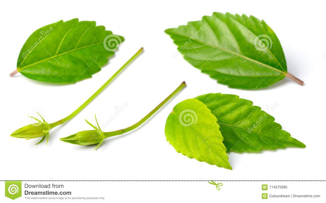 Fresh Hibiscus Leaves Isolated On White Stock Image Image Of