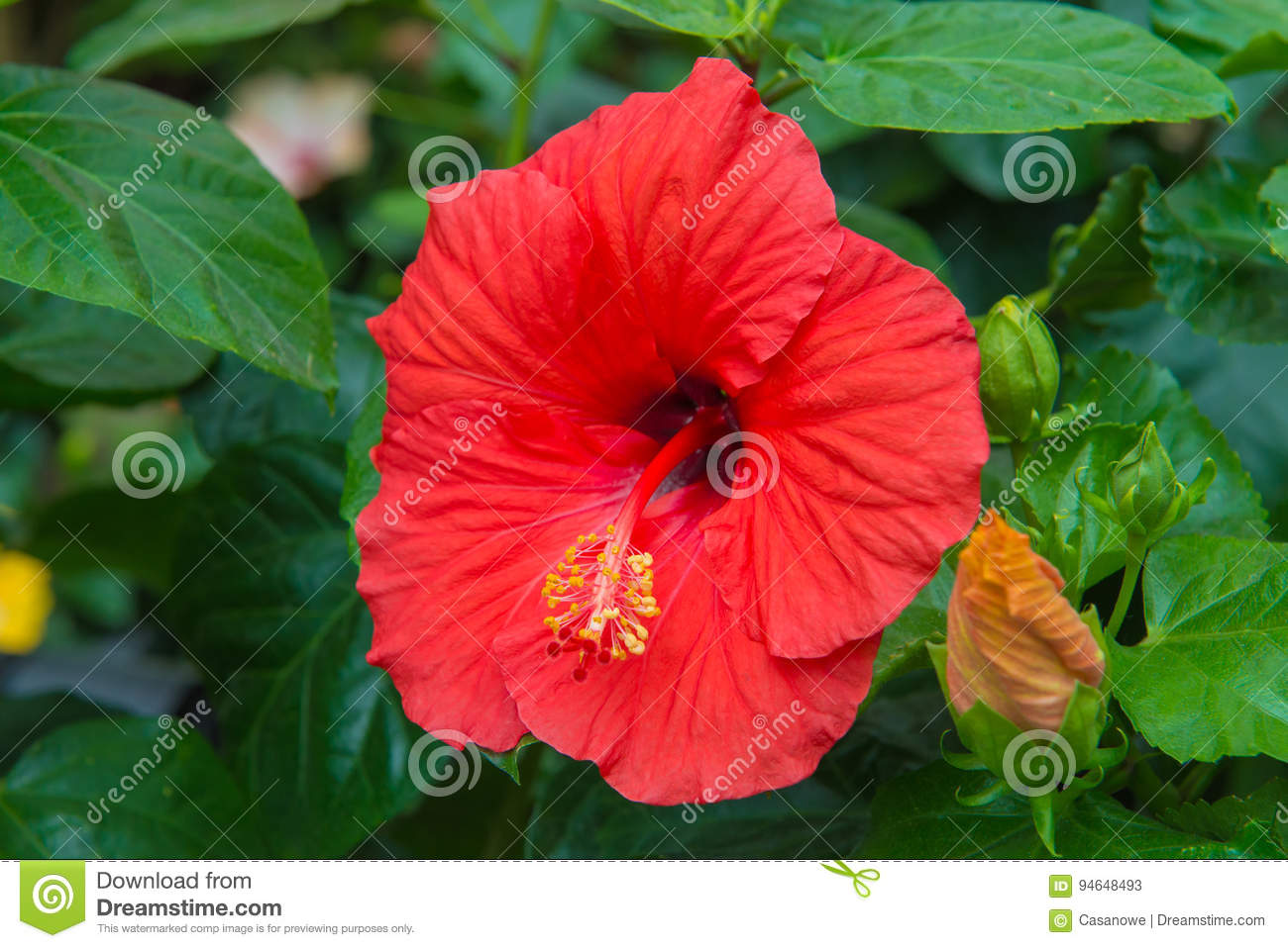 Fresh Hibiscus Red Flower In The Garden Stock Image Image Of Fresh