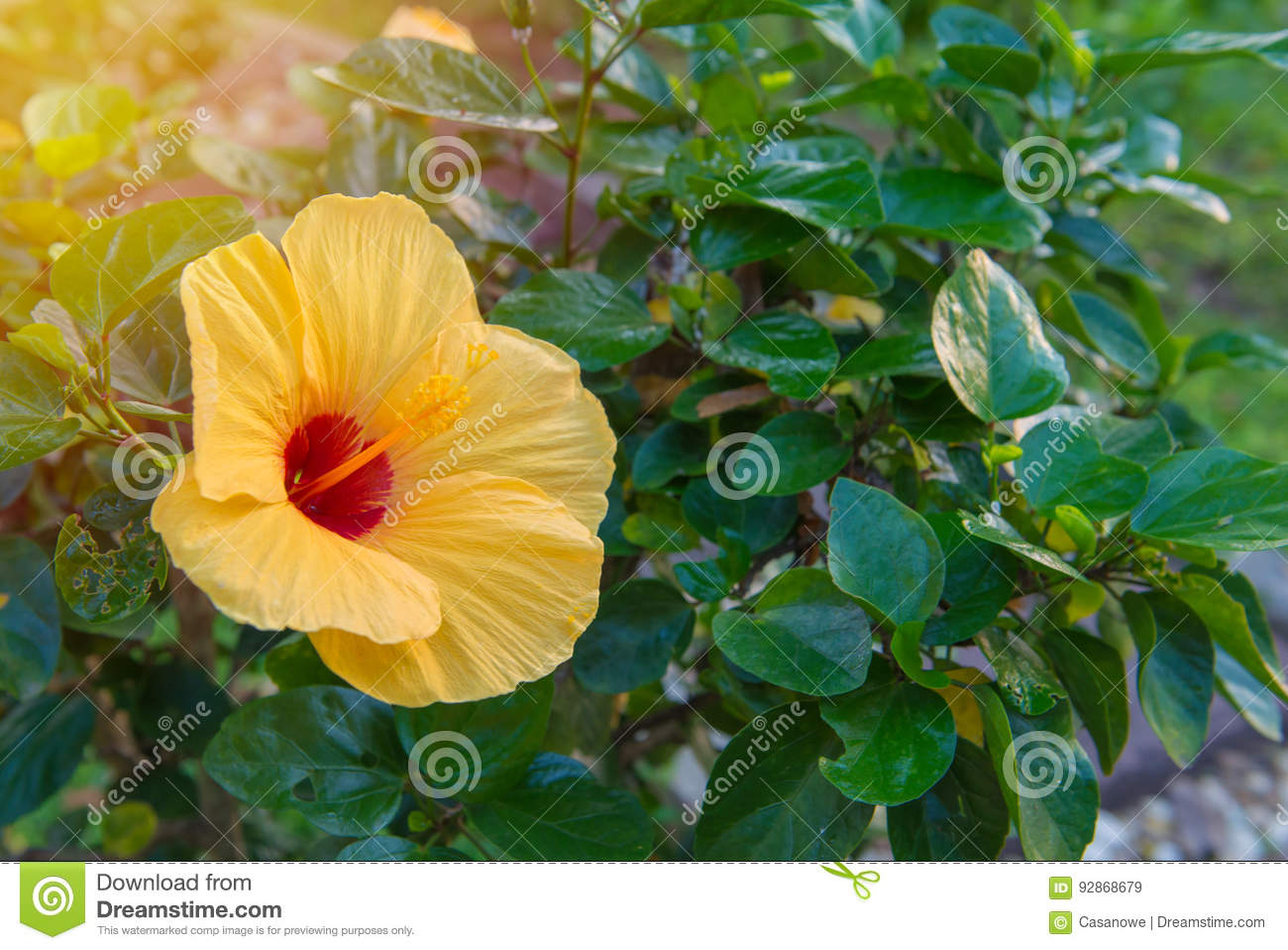 Fresh Hibiscus Yellow Flower In The Garden Stock Image Image Of