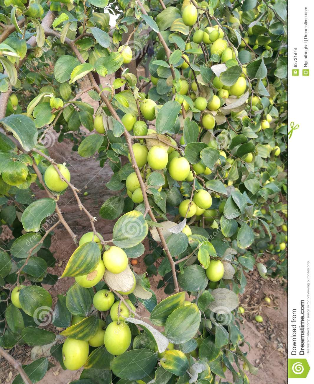 Indian Jujube Stock Images - Download 466 Royalty Free Photos