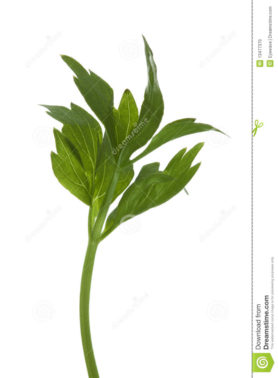 Fresh italian parsley herb twig stock photo image 13477370 - Tips planting herbs lovage parsley dill ...