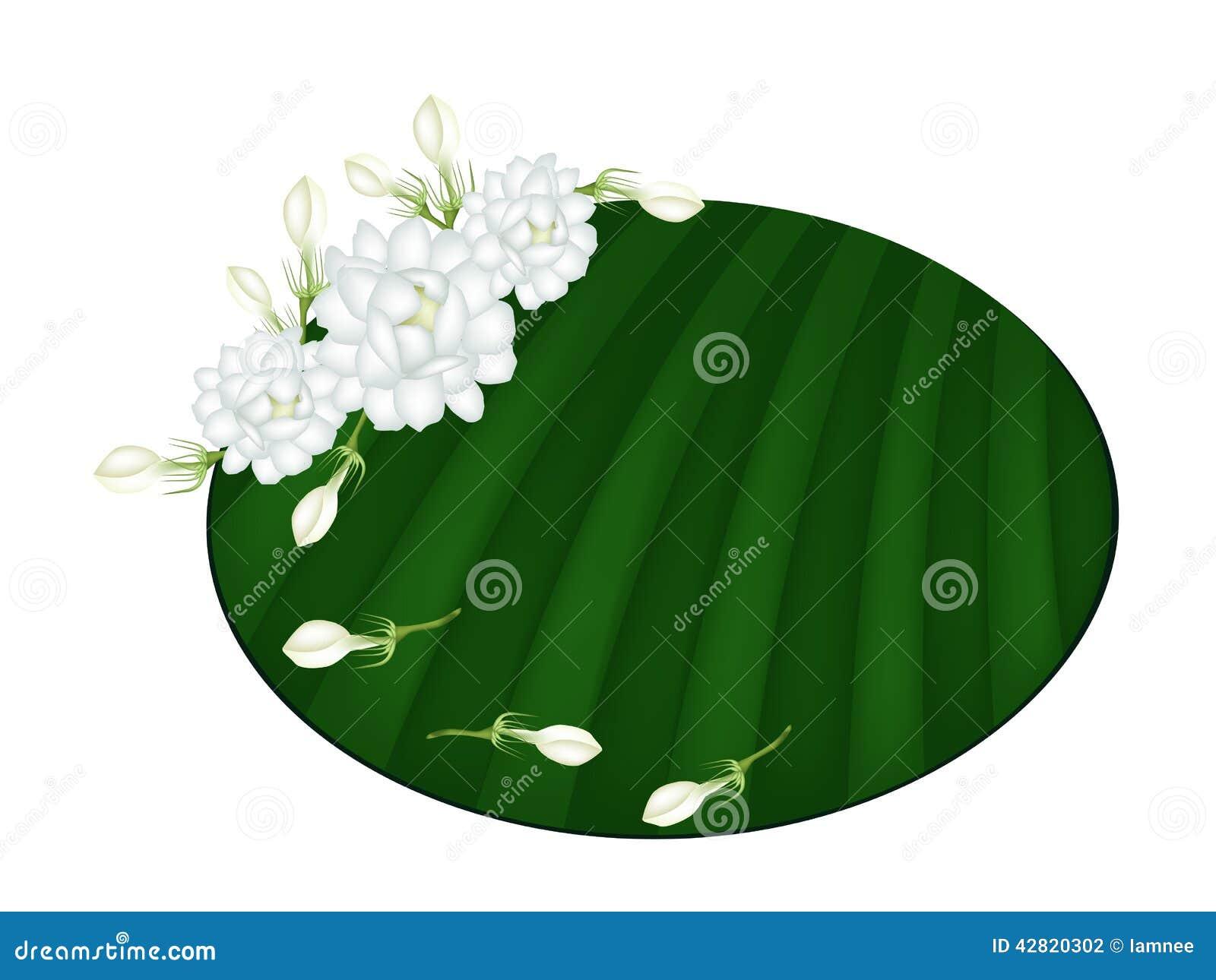 Fresh jasmine flowers on green banana leaf stock vector download comp izmirmasajfo