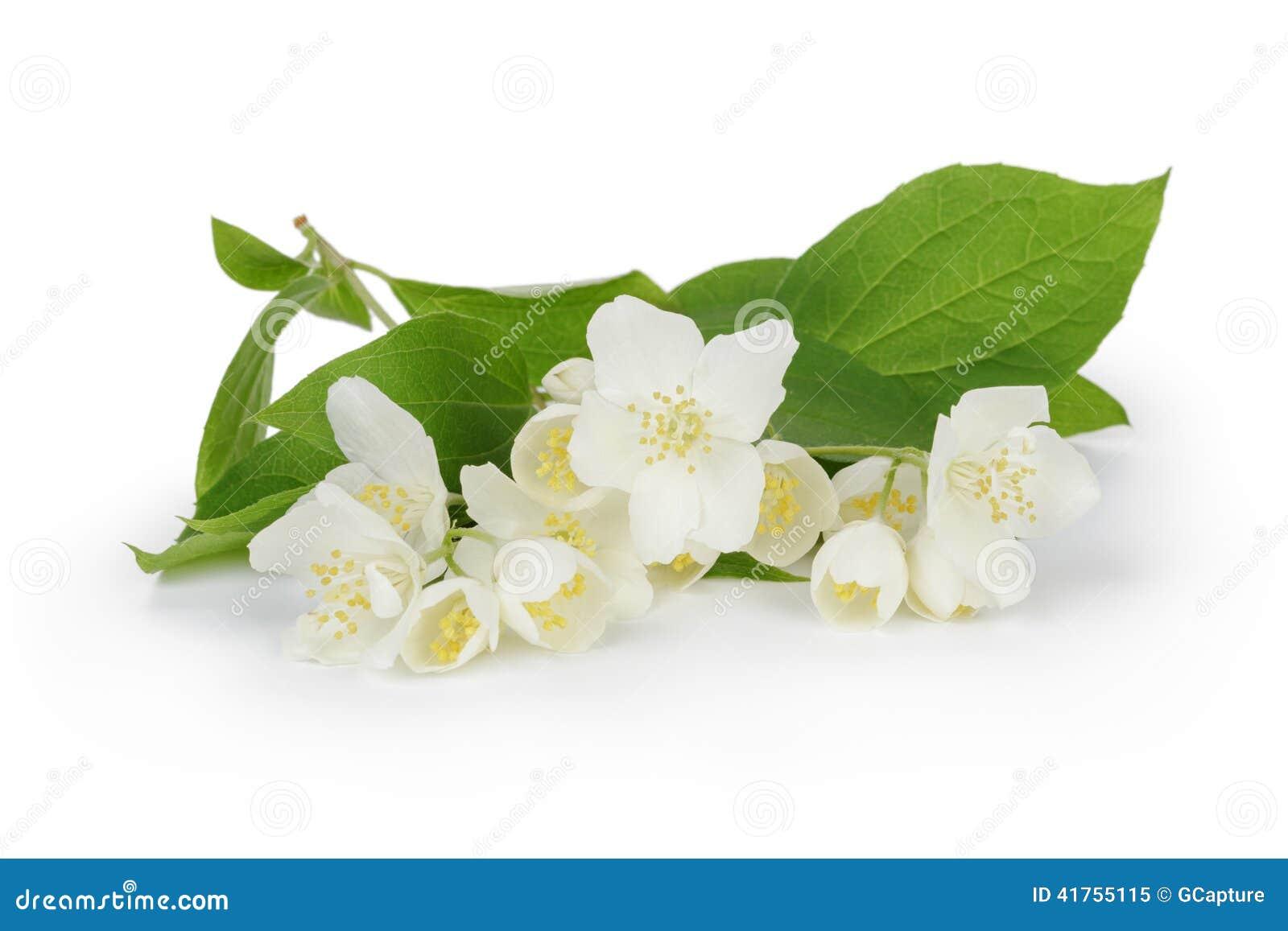 fresh jasmine flowers stock photo image 41755115. Black Bedroom Furniture Sets. Home Design Ideas