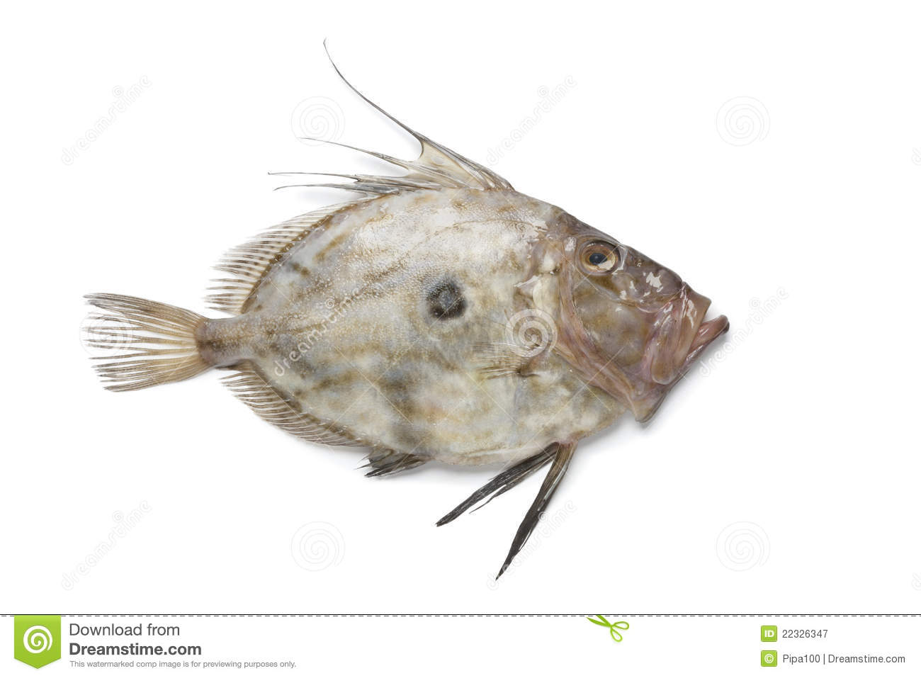 Fresh john dory fish royalty free stock photography for Picture of dory fish