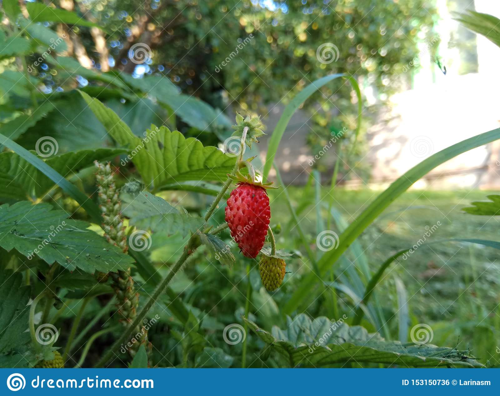 Fresh juicy bright red strawberry berry on autumn grass under sunlight natural background Wallpaper macro