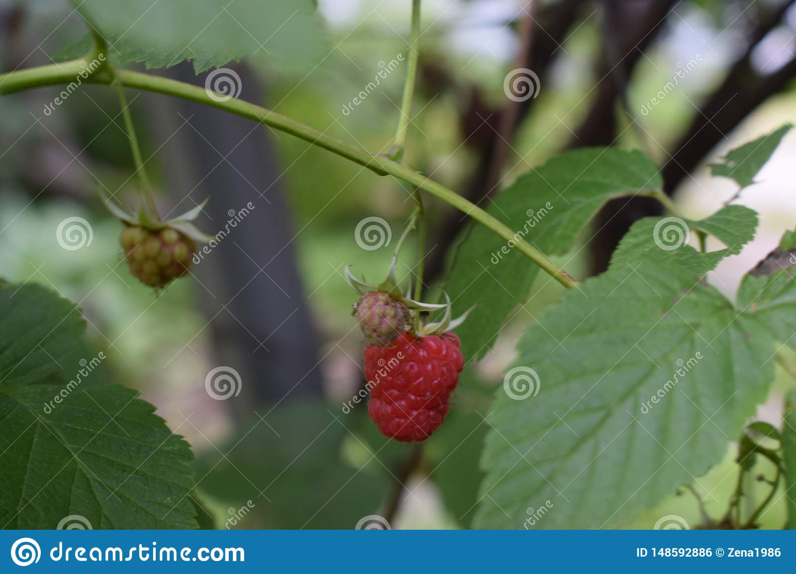 Red raspberry berry on a branch in the garden