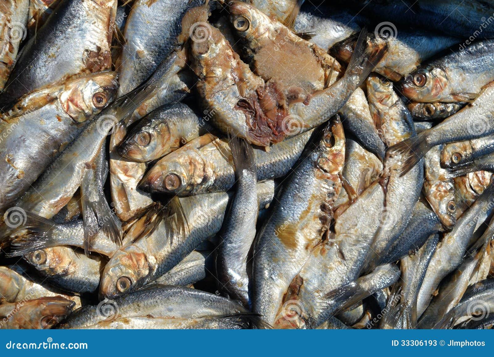 Fresh Krill Used As Bait Stock Photos - Image: 33306193