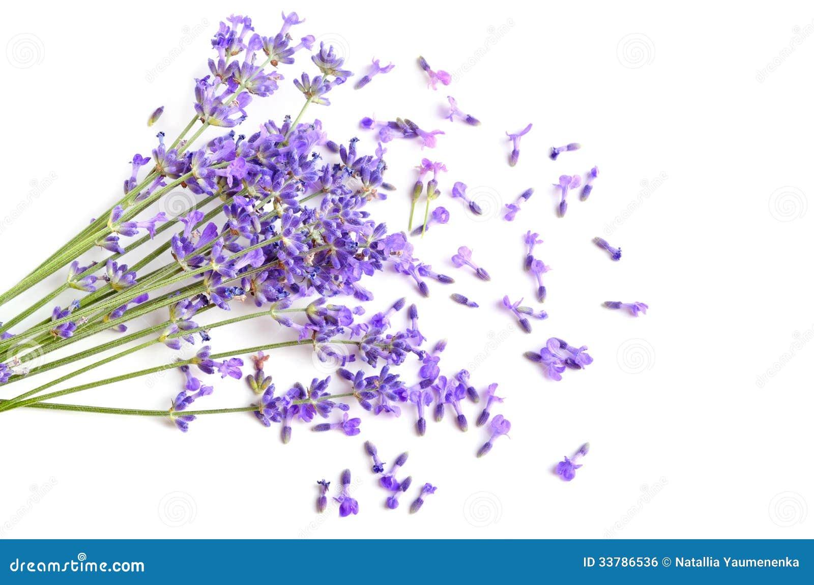 Fresh Lavender Royalty Free Stock Image Image 33786536