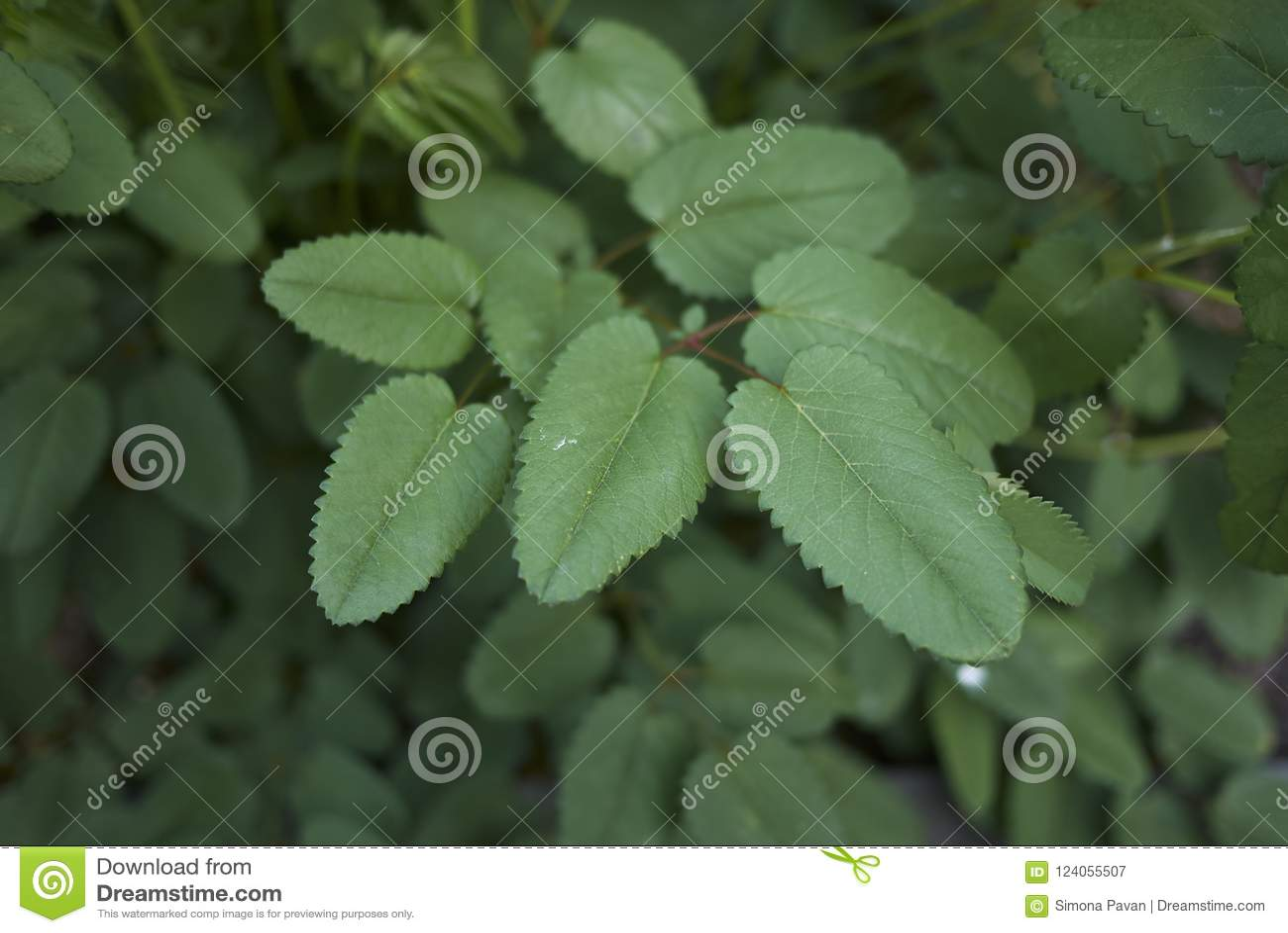 Leaves close up of Sanguisorba officinalis