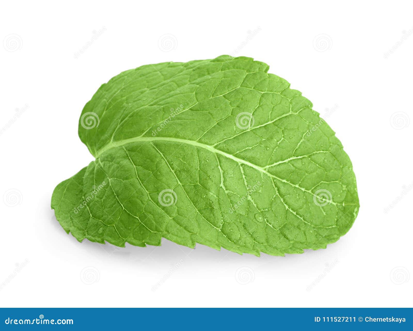 Fresh lemon balm leaf