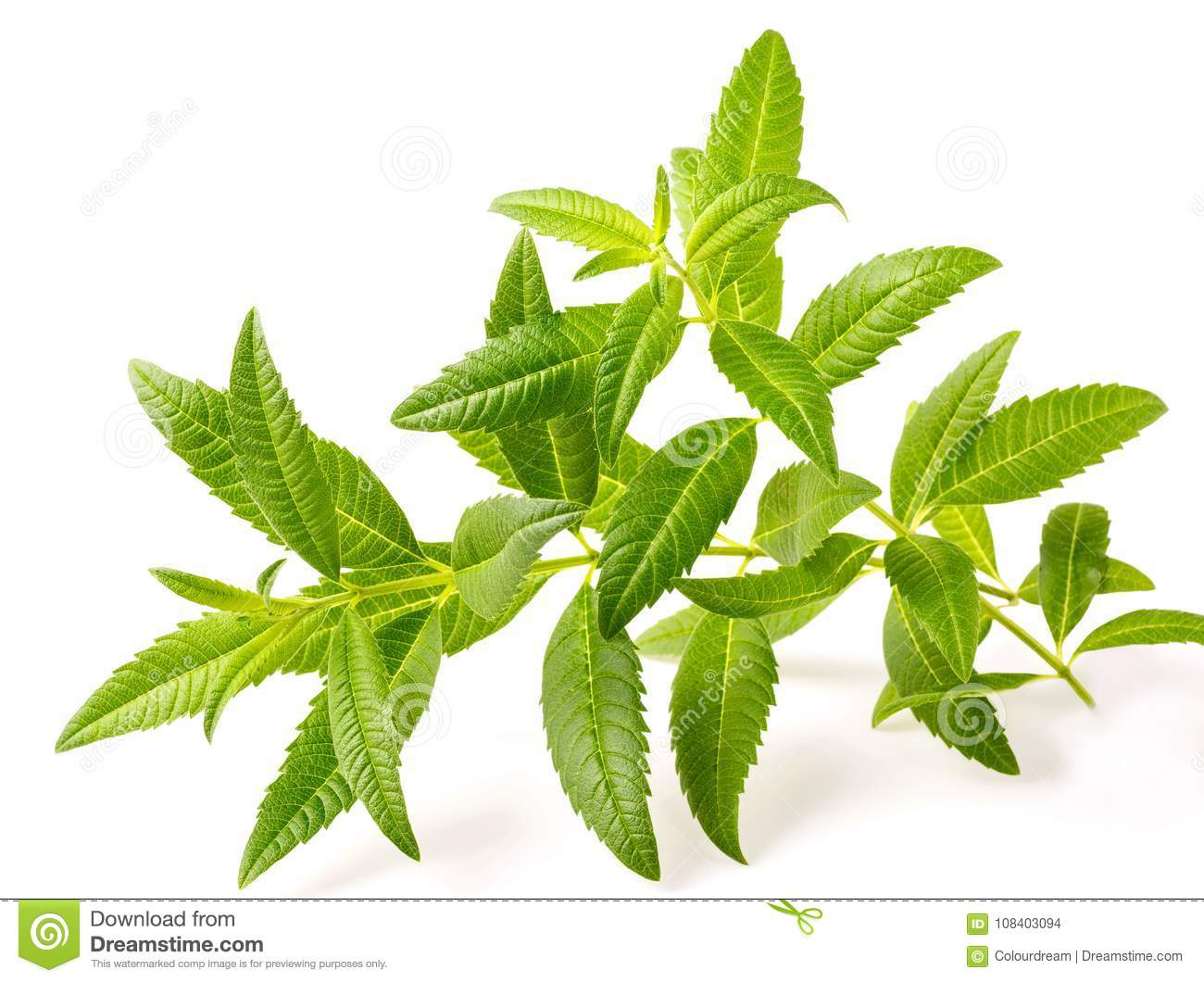 Fresh lemon verbena isolated on white background