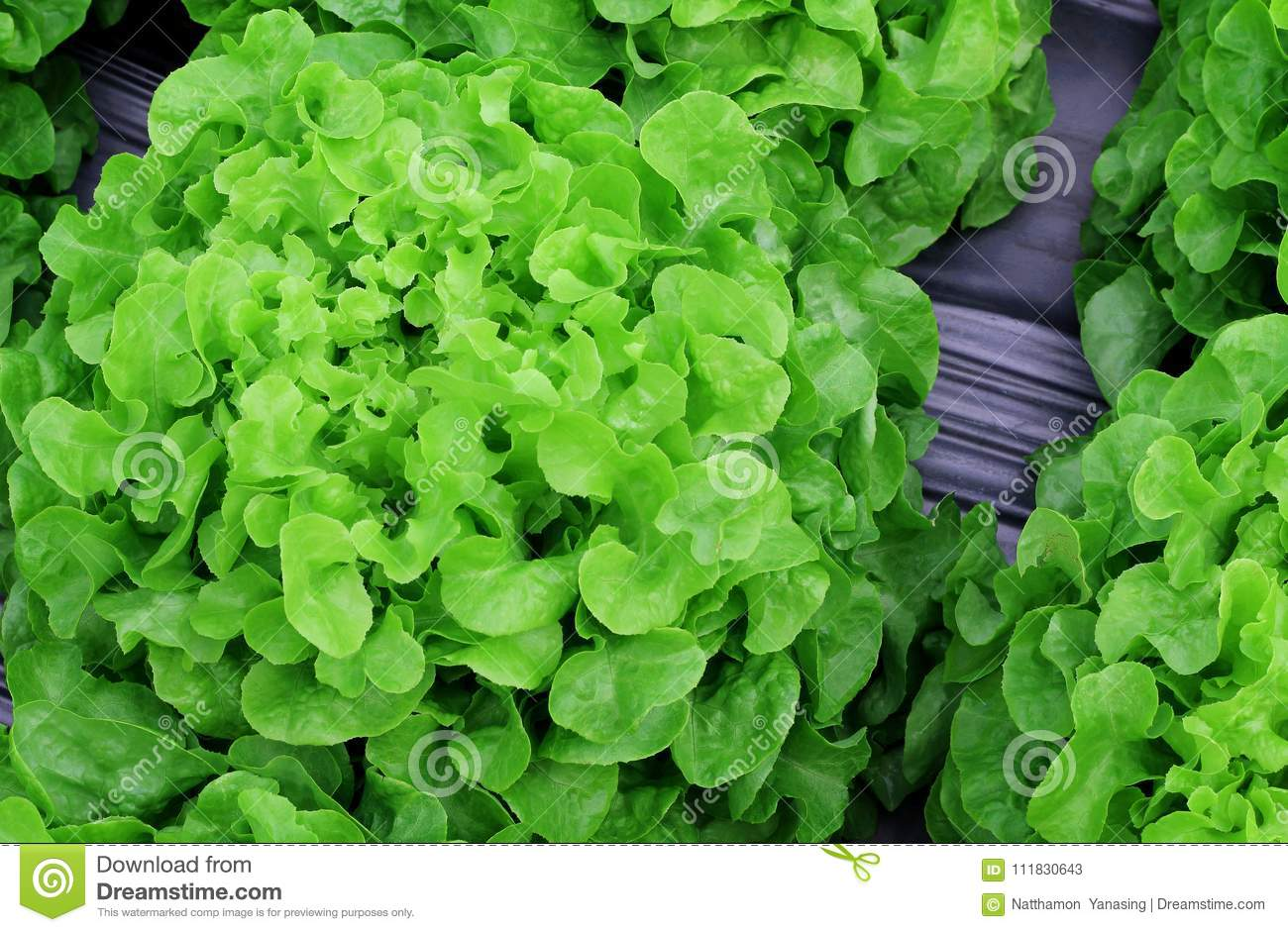 Fresh lettuce leaves vegetables for salad, hydroponic vegetable plant.