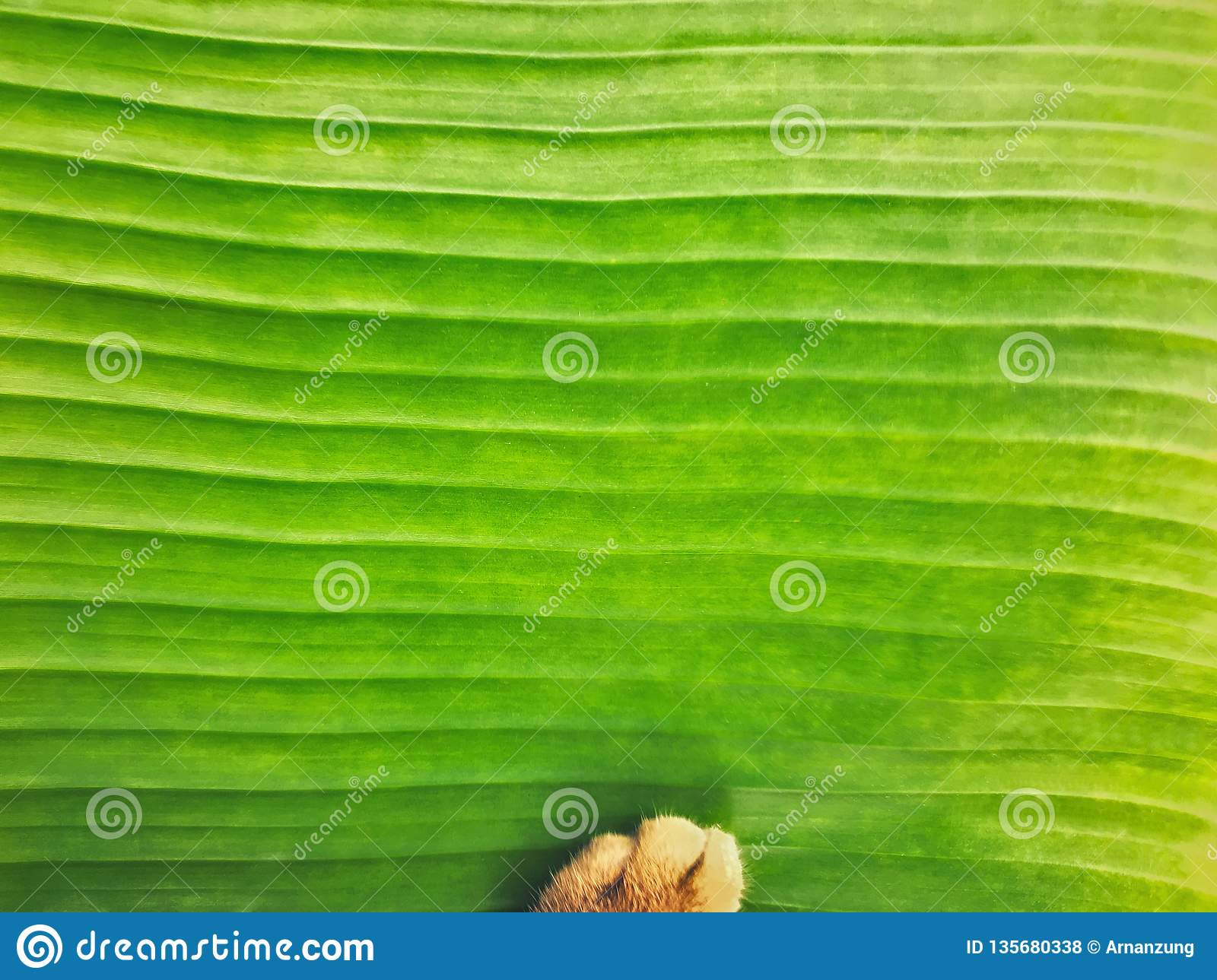 Fresh light green banana leaf texture close up background with cat paw soft focus.