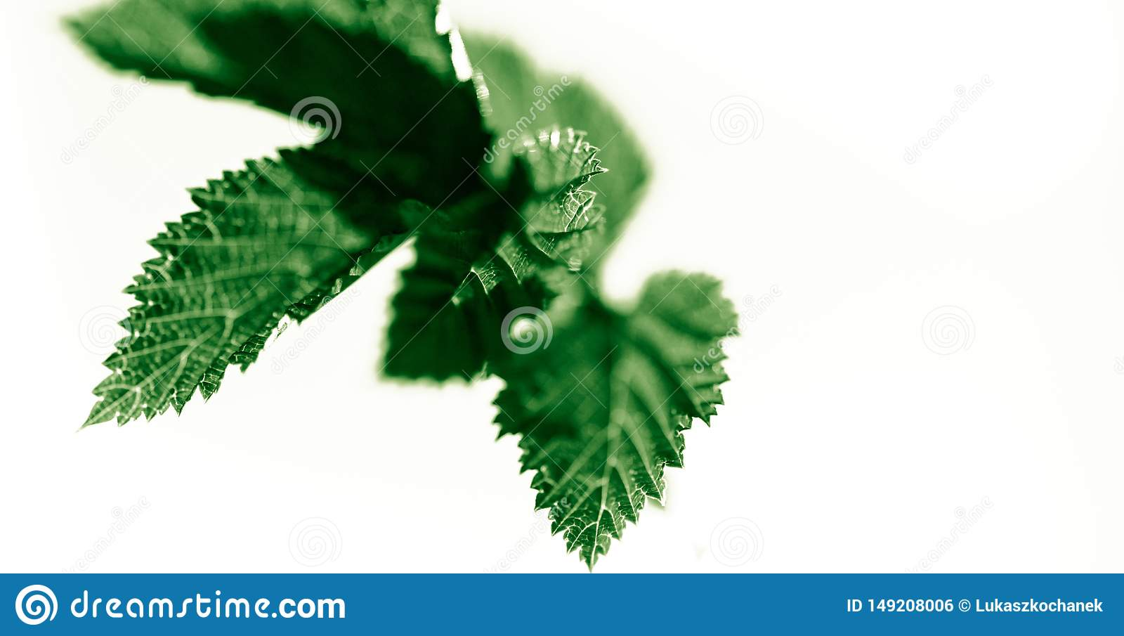 Fresh light green leaves isolated on white, abstract background for spring summer concept