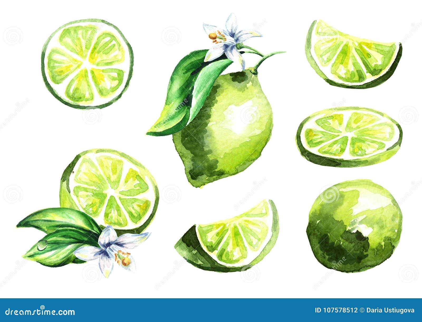 Fresh lime fruit set. Watercolor hand drawn illustration