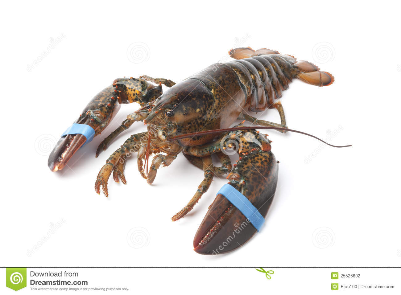 Fresh Living Lobster S...
