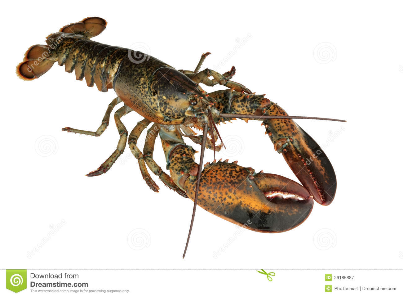 Lobster Uncooked | Lob...