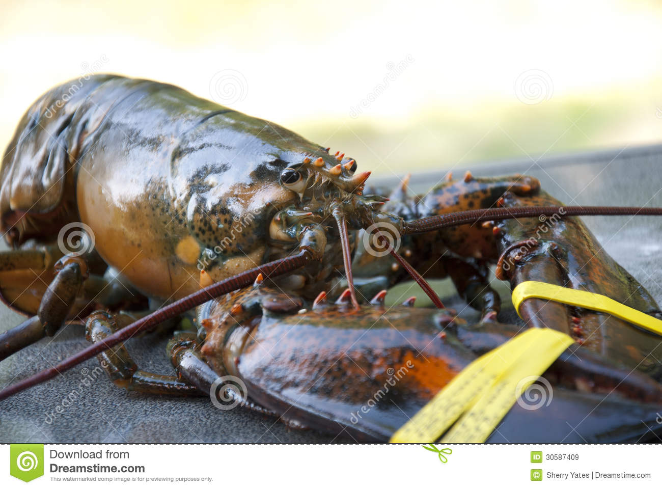 Fresh maine lobster royalty free stock images image for Who sells fishing license near me