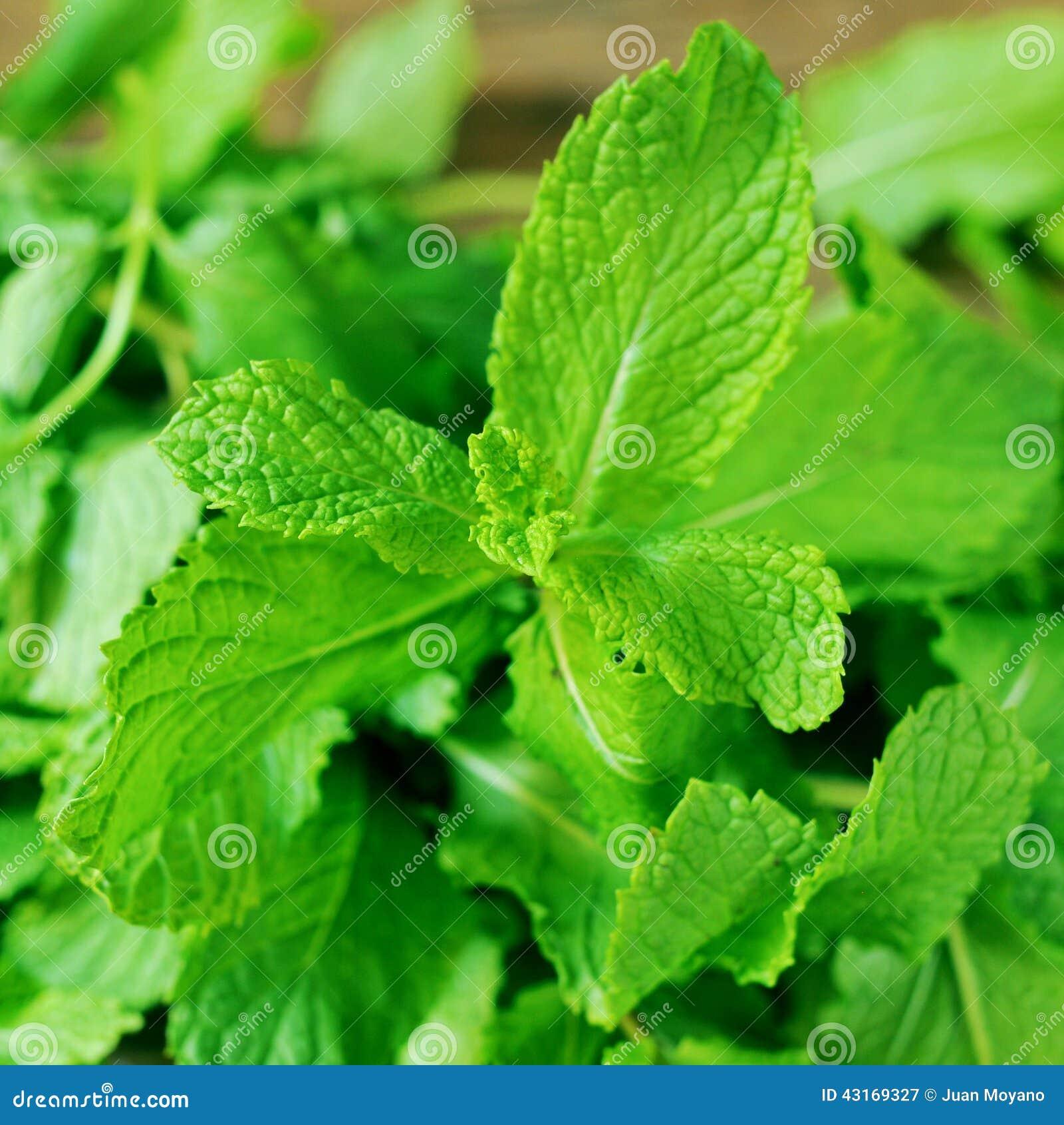 how to prepare fresh mint