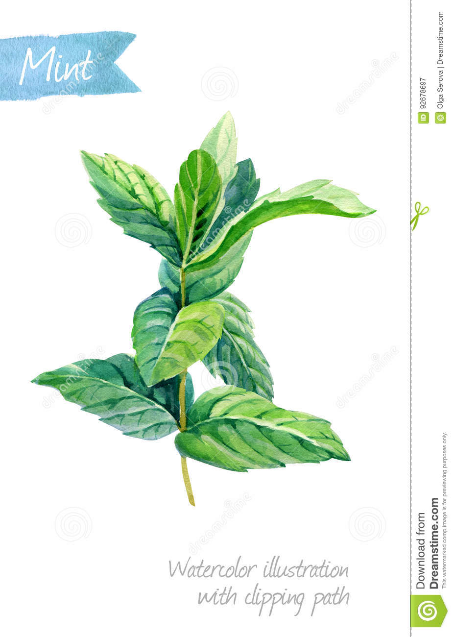 Fresh Mint Plant Isolated On White Watercolor Illustration ...