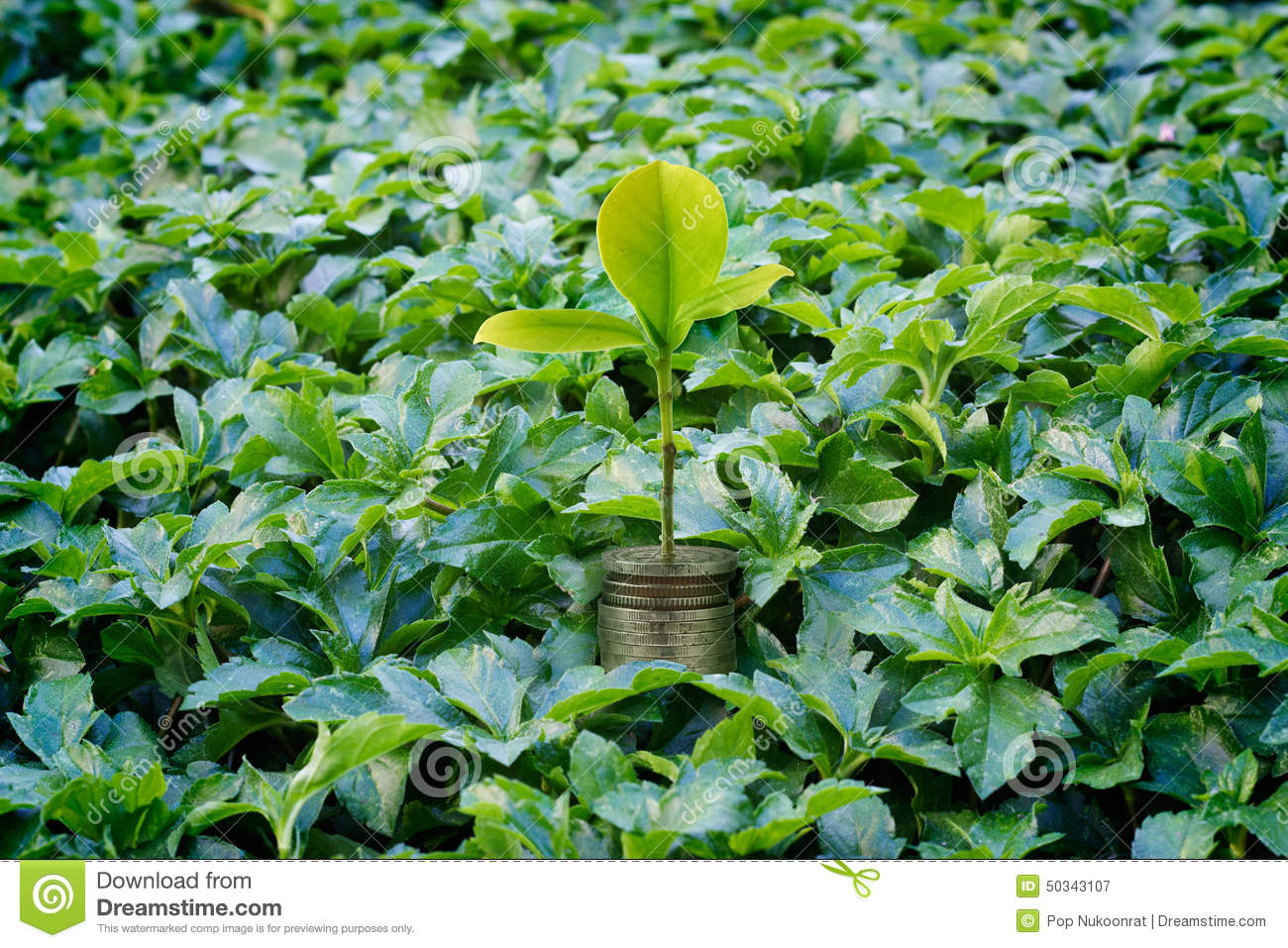 Fresh Money Plant Growing Money Growth Business Concept Stock Photo Image 50343107