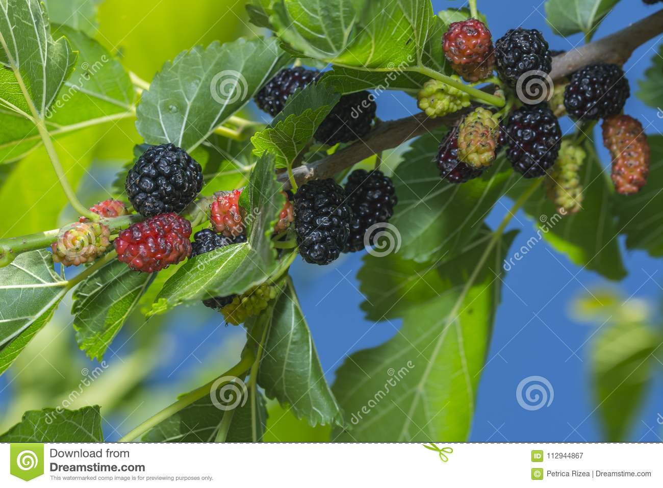Fresh mulberry berry on the tree in nature