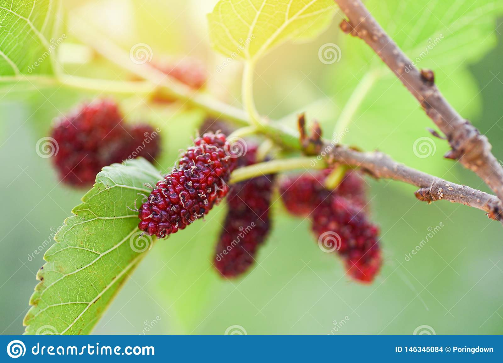 Fresh mulberry on tree Ripe red mulberries fruit on branch and green leaf in the garden background