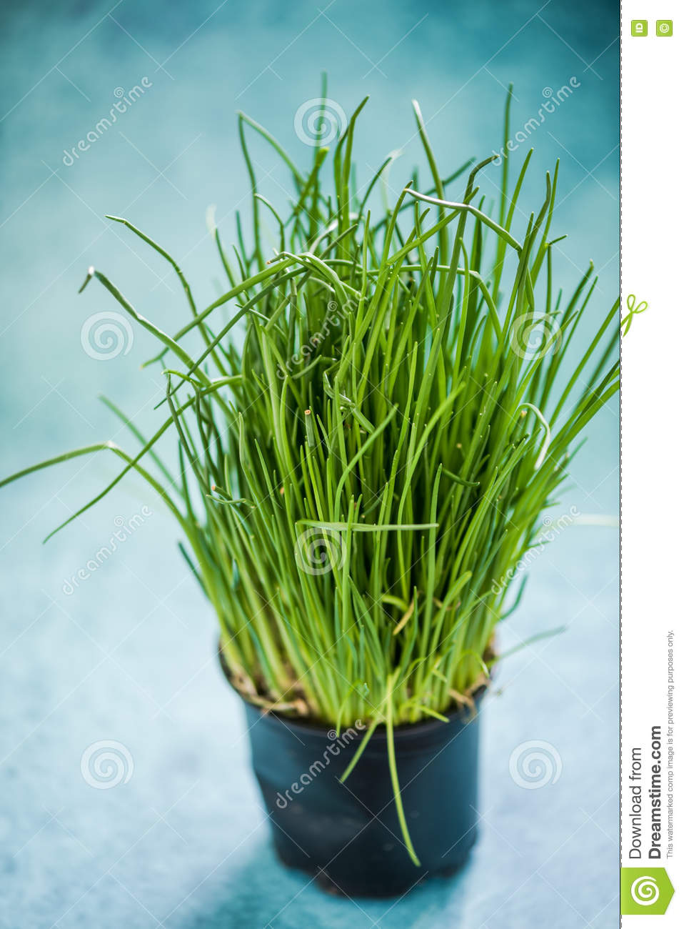 Fresh organic chive in pot