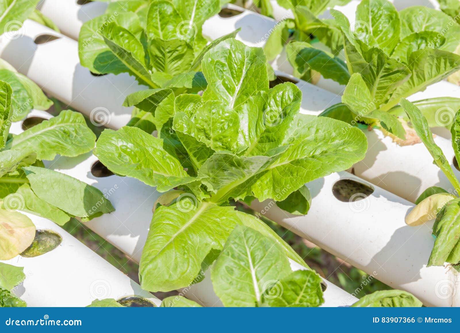 Fresh Organic Cos Salad Vegetable In Outdoor Hydroponic Garden F ..