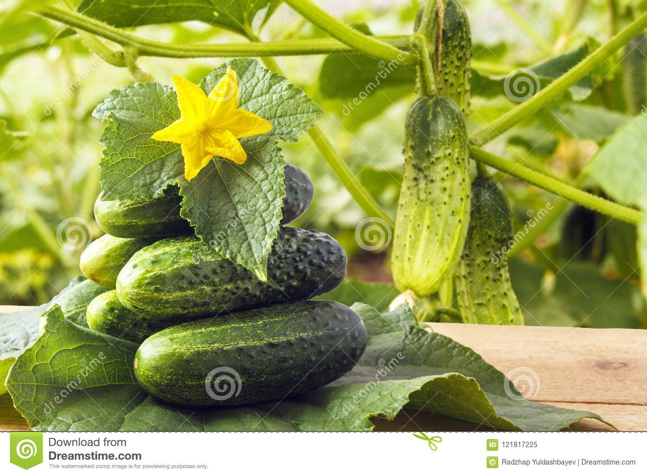 Fresh Organic Gherkins And Yellow Flowers With Green Leaves On