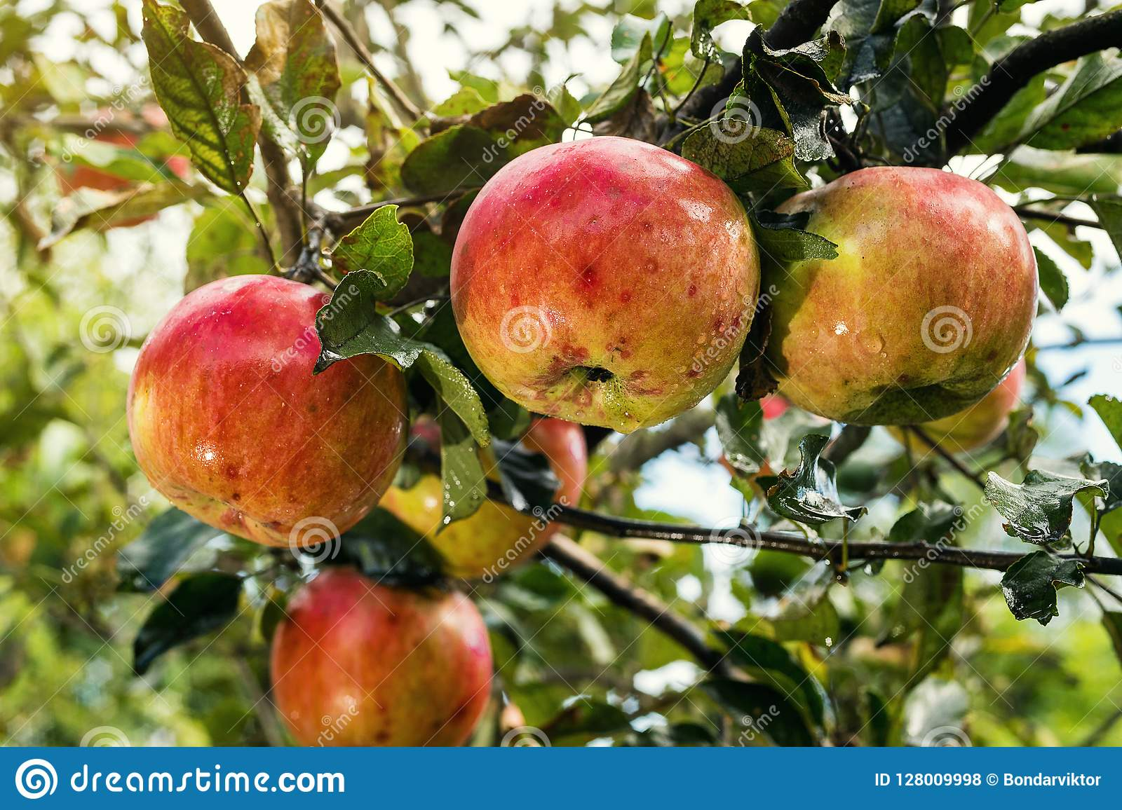 Fresh organic orchard full of riped red apples before harvest
