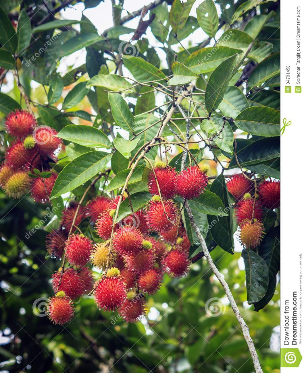 Fresh Organic Rambutan On Tree, Thailand. Stock Photo ...