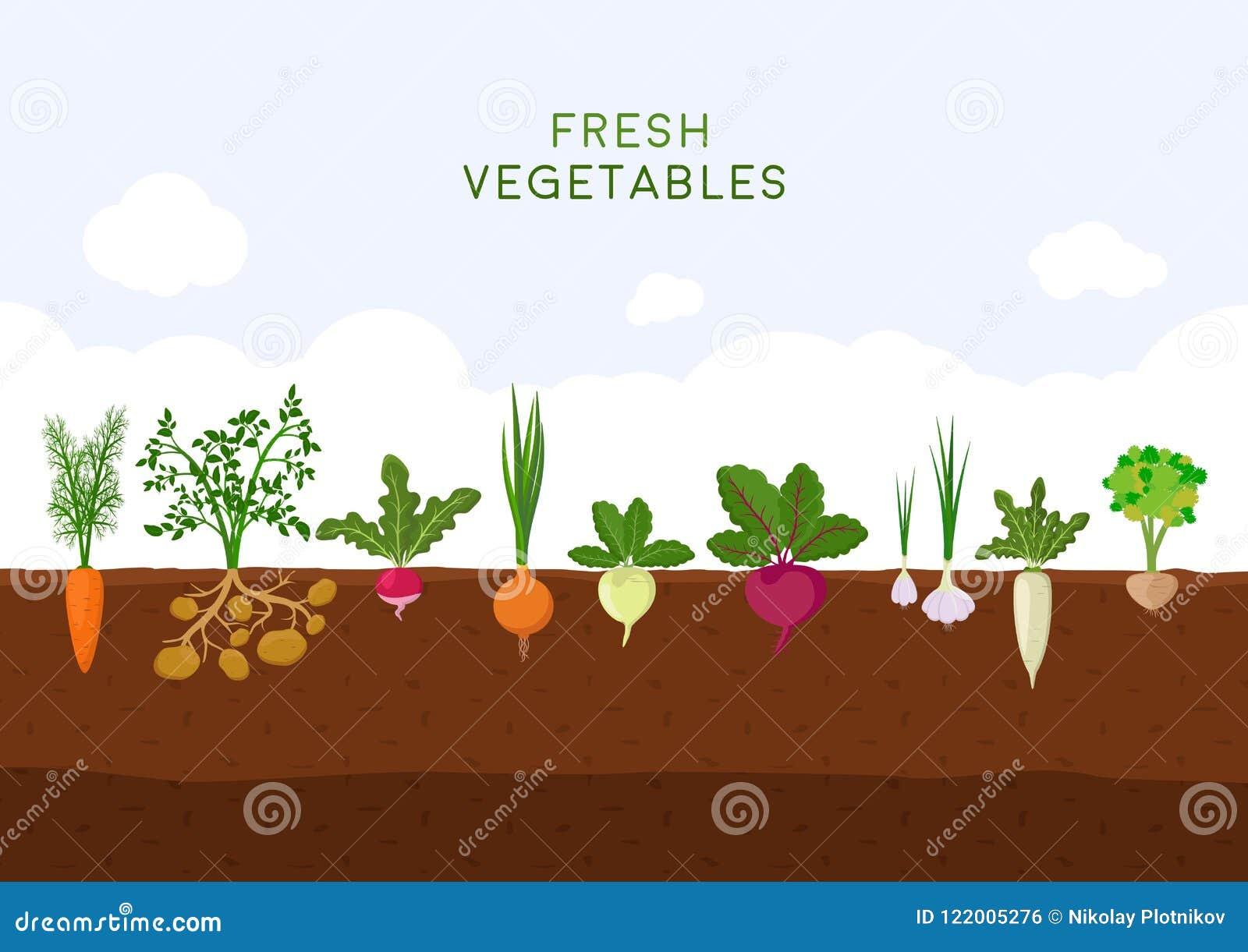 Fresh organic vegetable garden on blue sky background. Garden with different kind root veggies. Set vegetables plant