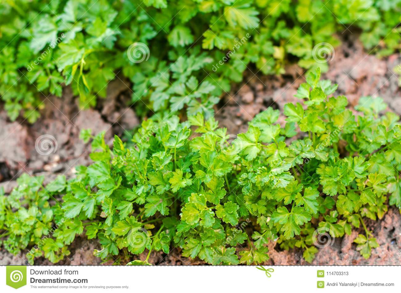 Fresh parsley in the garden, growing in rows. close-up. field, farm, growing herbs