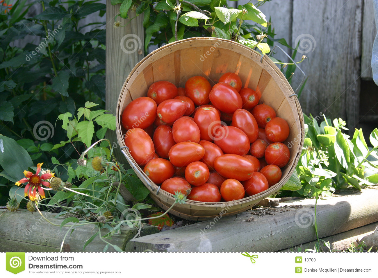 Fresh picked tomatoes