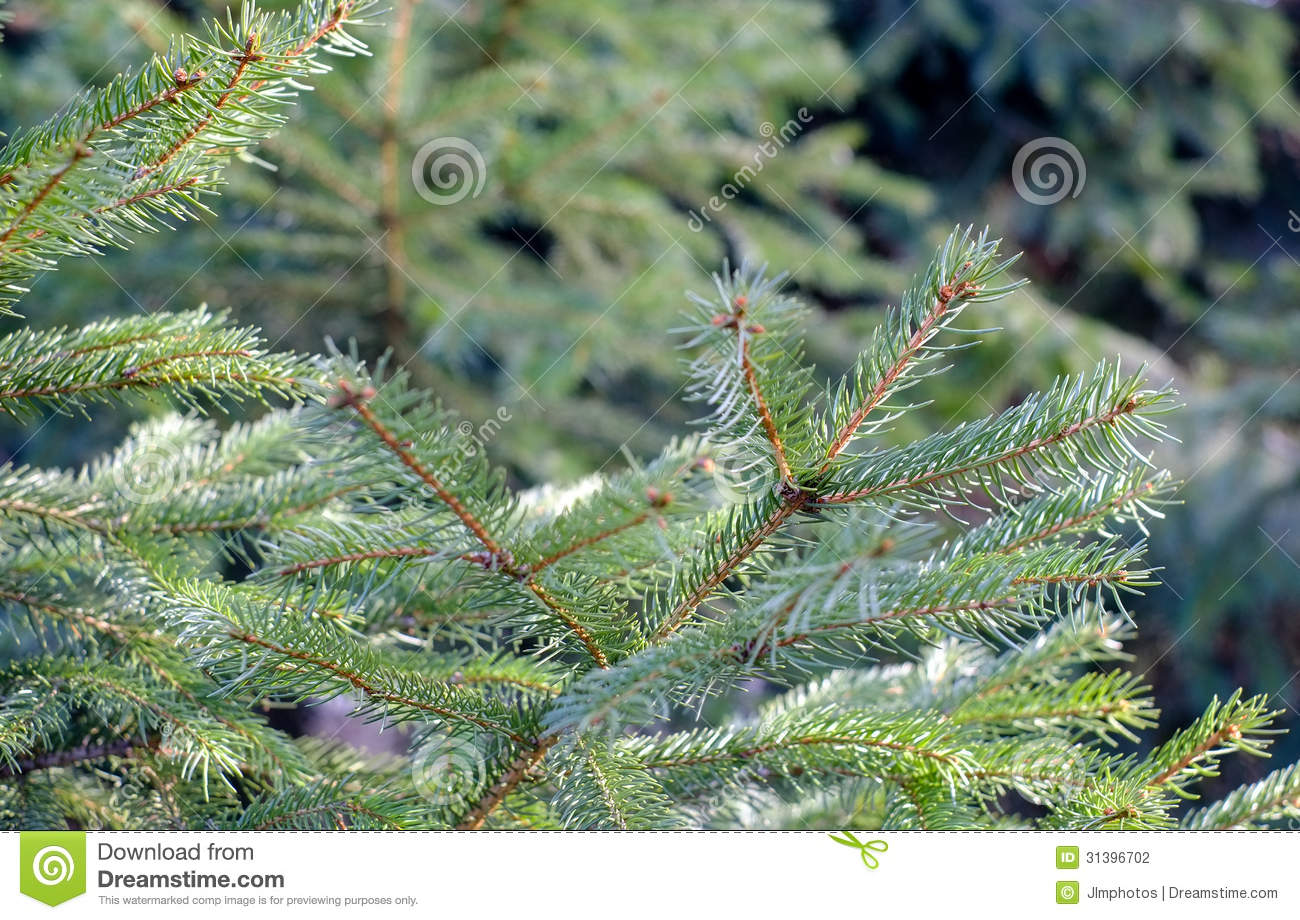 Fresh pine bows stock photo. Image of pine, blue, spring
