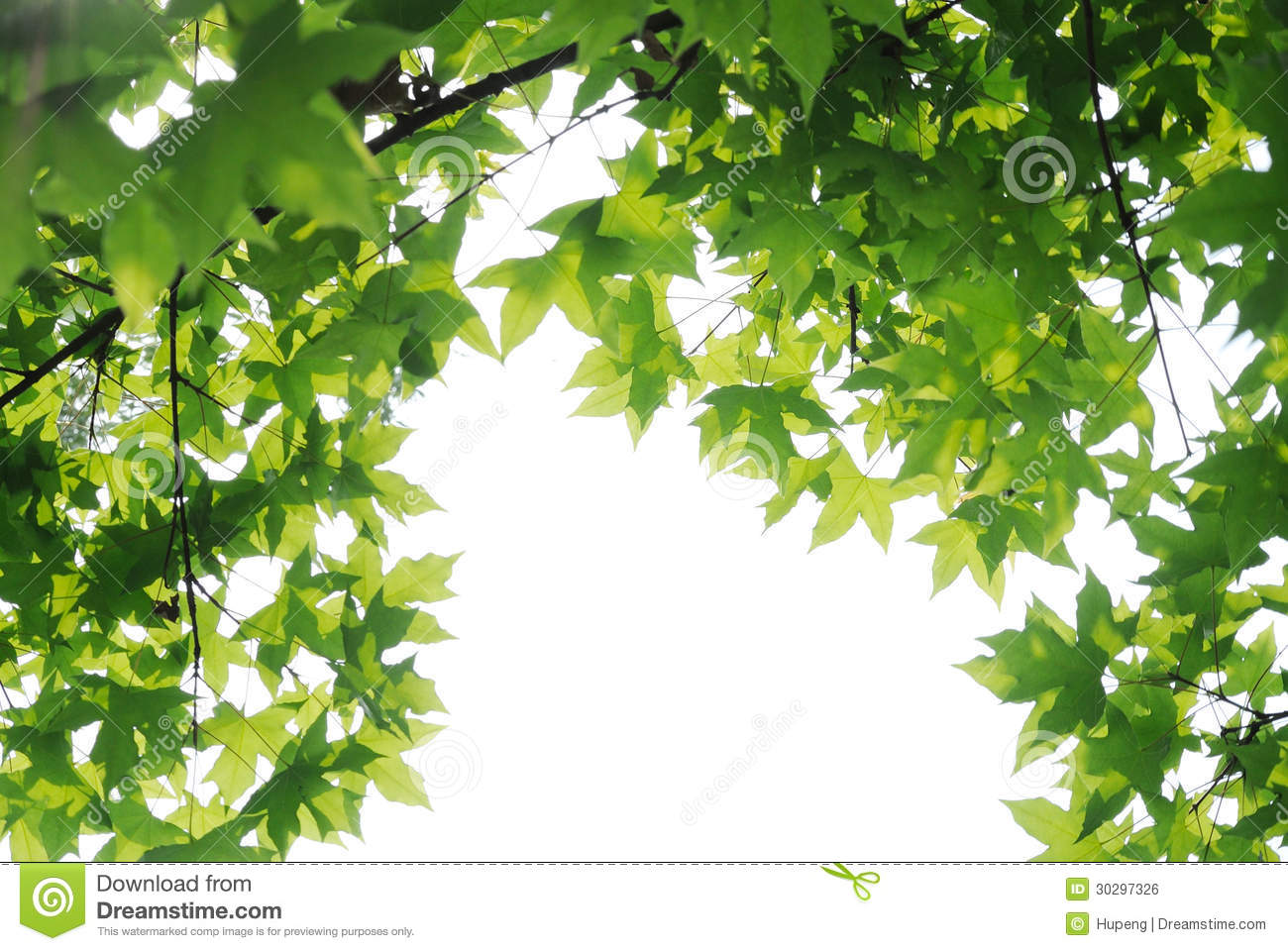 Download Plane trees  leaves stock photo. Image of leaf, clean - 30297326