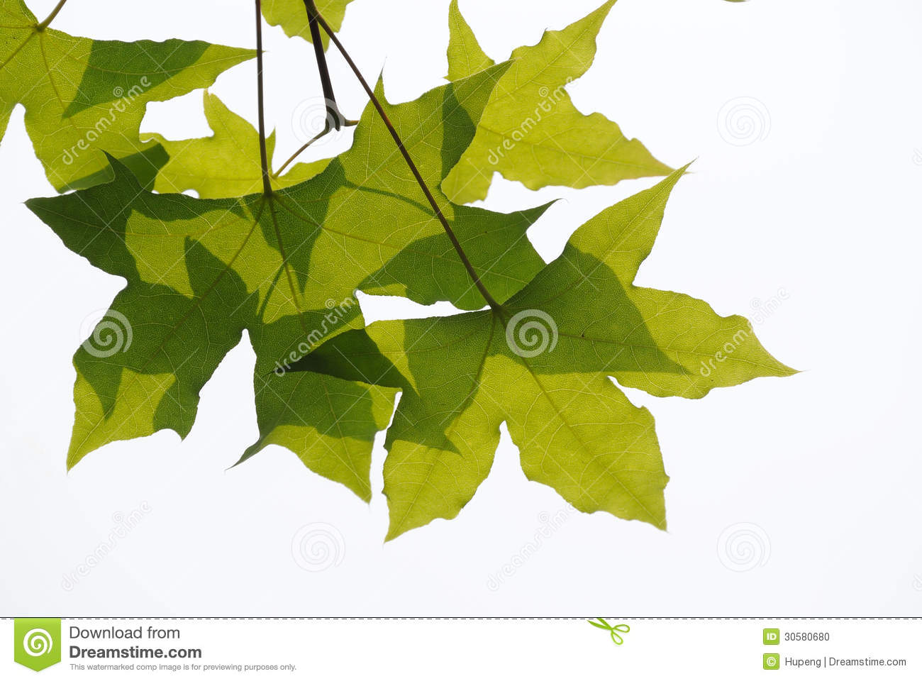 Download Fresh plane trees  leaves stock photo. Image of growing - 30580680